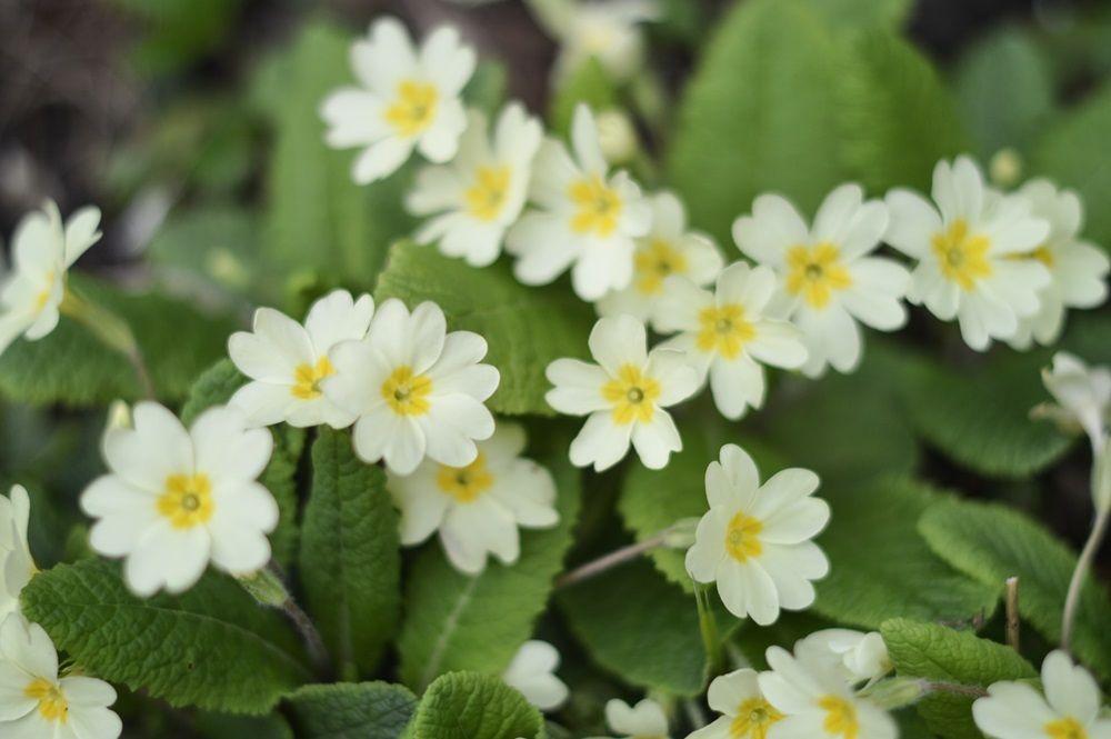 english primrose flower